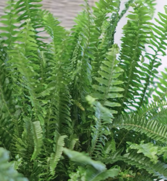 Plantar Helechos