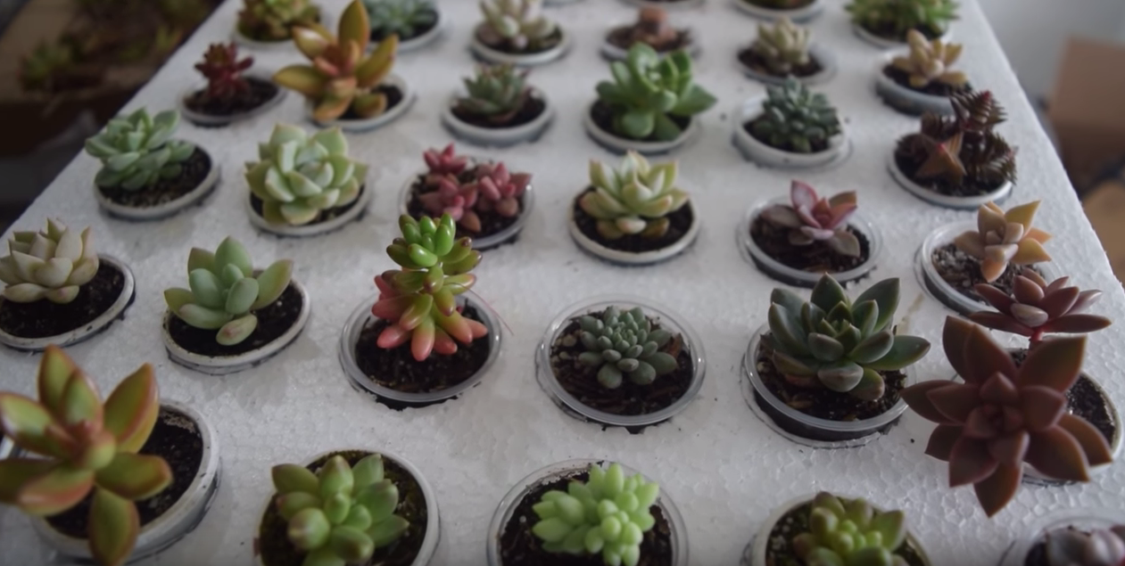 Plantar Suculentas de colores