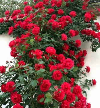 Rosas trepadoras