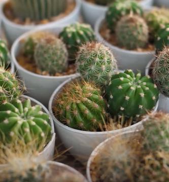 trasplantar Cactus Bebés