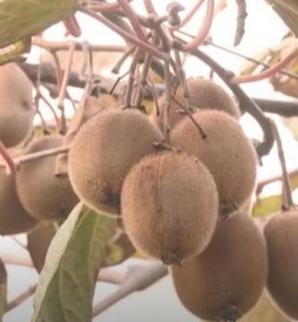Arbol de kiwi