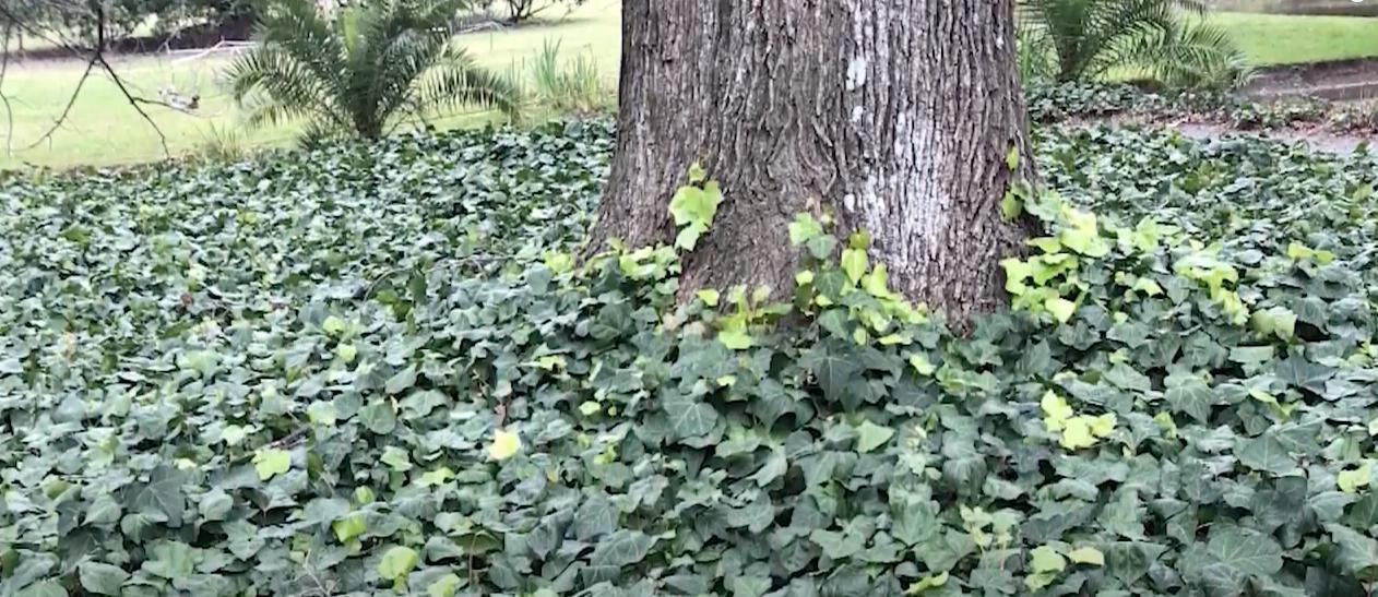 plantas cubresuelos