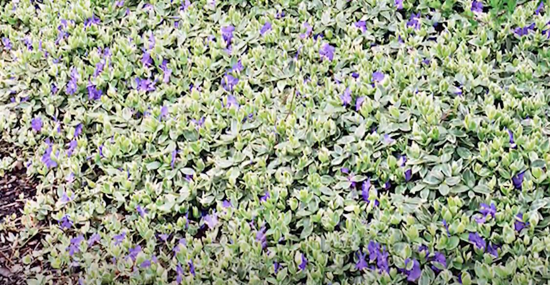 plantas tapizantes