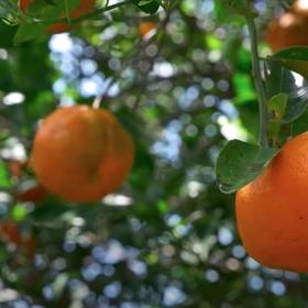 El mandarino