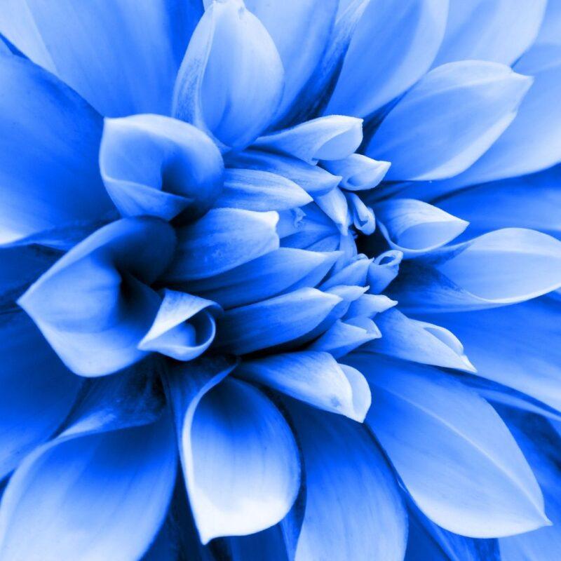 flor azul dalias