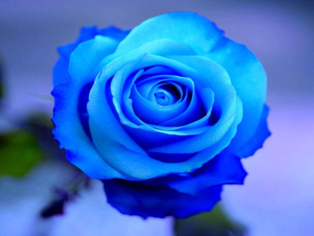 flor azul rosa